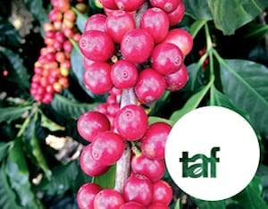 Taf x European Coffee Trip - Roaster Village Online 2020