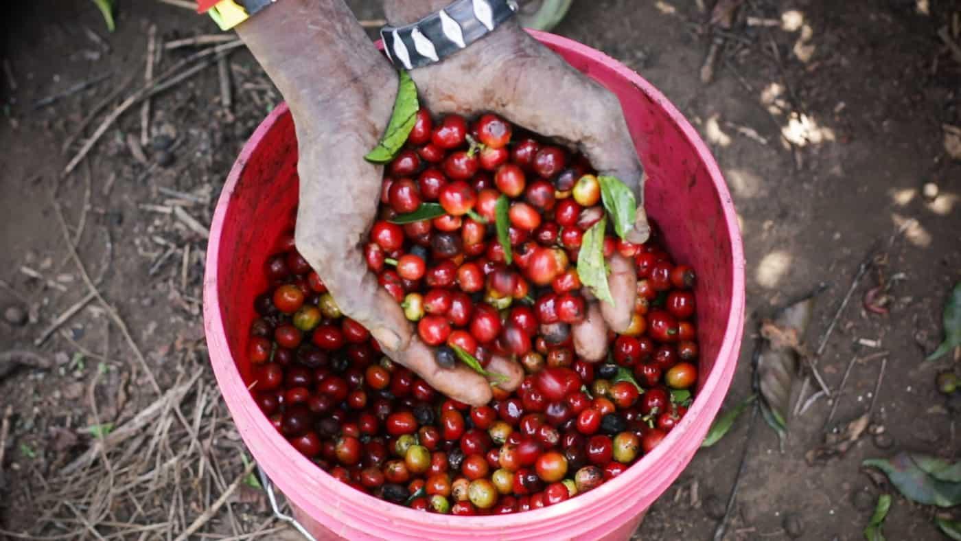 Estate Grown Coffee in the Highlands of Tanzania   Mondul Coffee Estates